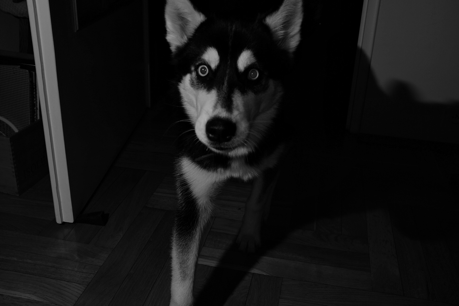 Husky black and white off camera flash
